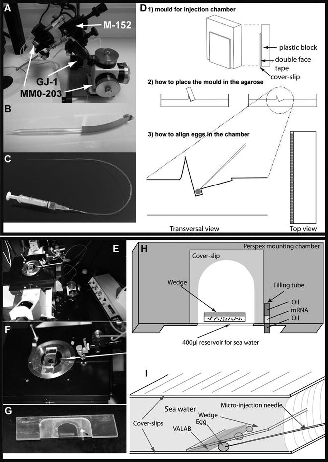 Embryological Methods in Ascidians: The Villefranche-sur-Mer