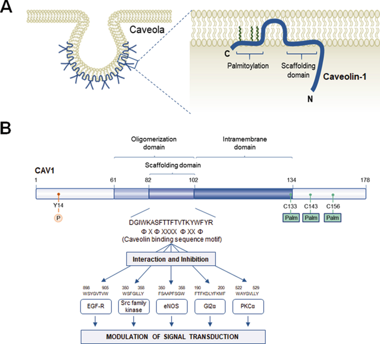 Modulation of Cancer Cell Growth and Progression by Caveolin-1 in ...