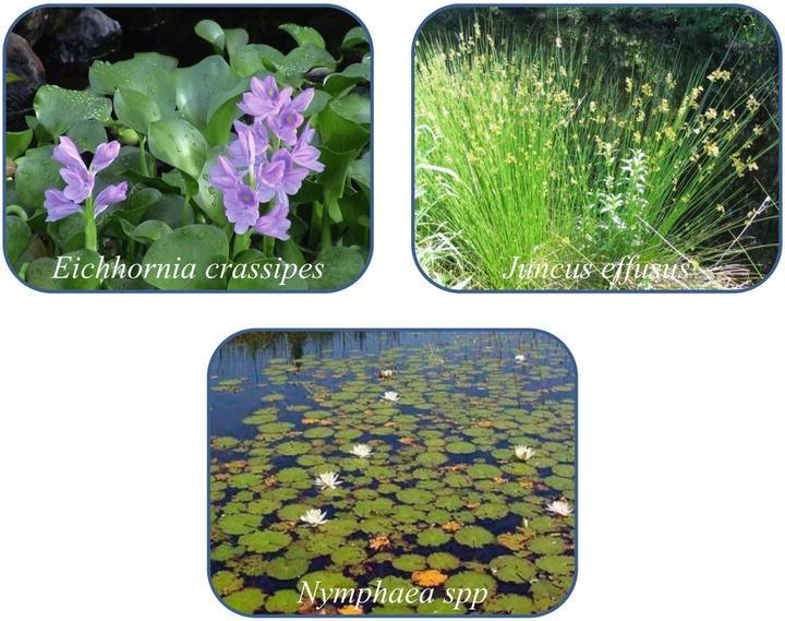 Phytoremediation in Constructed Wetlands | SpringerLink