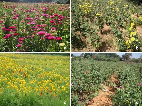 Phytoremediation Crops And Biofuels Springerlink