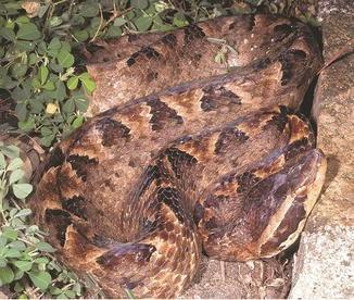 Asian snakes springerlink open image in new window fandeluxe Images