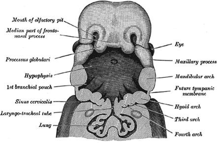 Embryology And Anatomy Of The Oral Cavity And Pharynx Springerlink