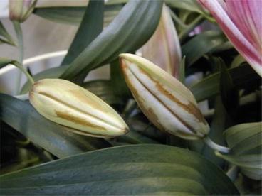 Diseases of Lily   SpringerLink