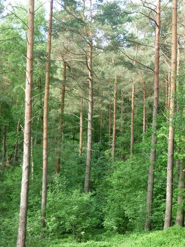 Pure And Mixed Coniferous Forests Springerlink