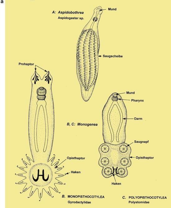 platyhelminthes structura nutritivă