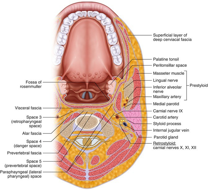 Anatomical Considerations in Transoral Robotic Approach   SpringerLink