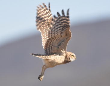 The Owls of Chile | SpringerLink