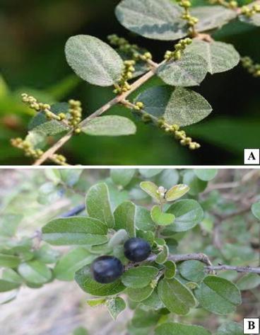 Status of Edible Wild Plants in Pakistan: Case Studies