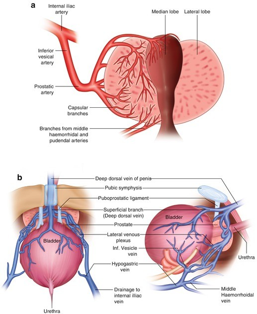 Anatomy Physiology And Pathology Of The Large Prostate Springerlink