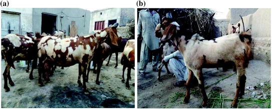 Rearing and Breeding Damani Goats in Pakistan | SpringerLink