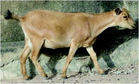 West African Goat Breeds | SpringerLink