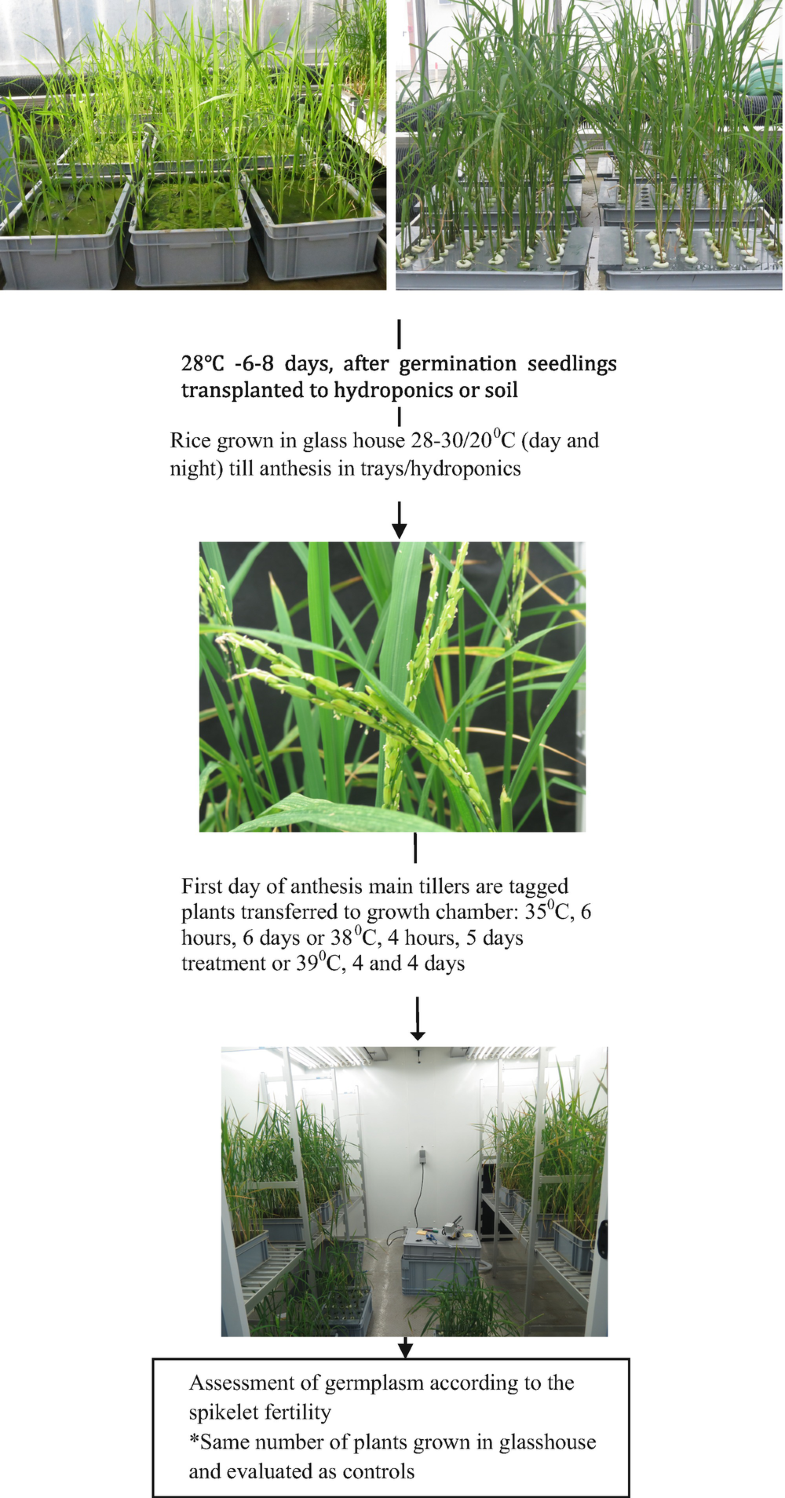 Screening Protocols For Heat Tolerance In Rice At The Seedling And Reproductive Stages