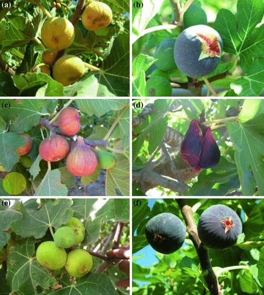 2 Turkish common variety /'Type 208/' Fig cutting
