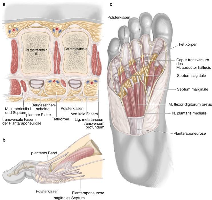 Fein Plantaraponeurose Anatomie Bilder - Anatomie Von Menschlichen ...