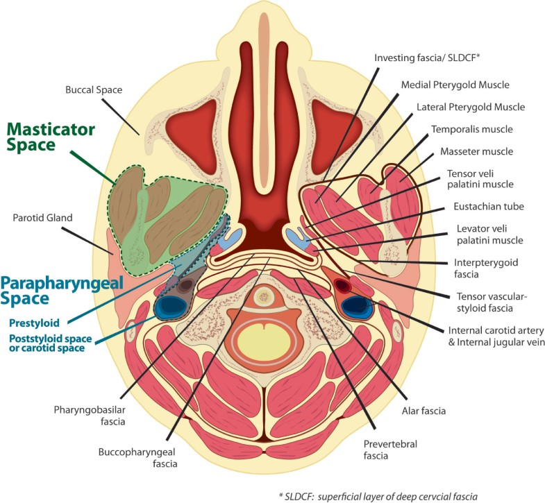 Funky Neck Spaces Anatomy Collection - Internal organs diagram ...