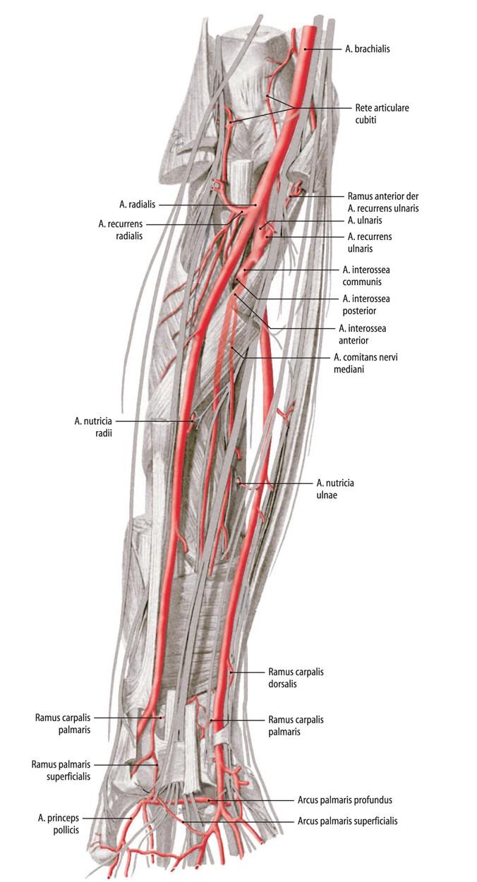 Anatomie der Gefäße und operative Zugangswege | SpringerLink