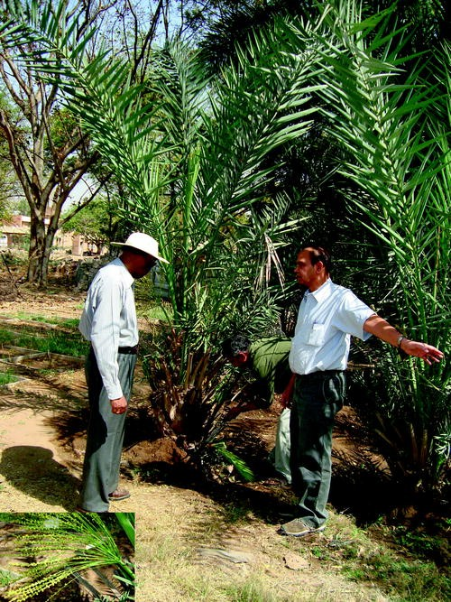 Date Palm Cultivation In The Changing Scenario Of Indian Arid Zones Challenges And Prospects Springerlink