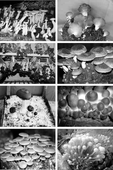 Production of Edible Mushrooms | SpringerLink