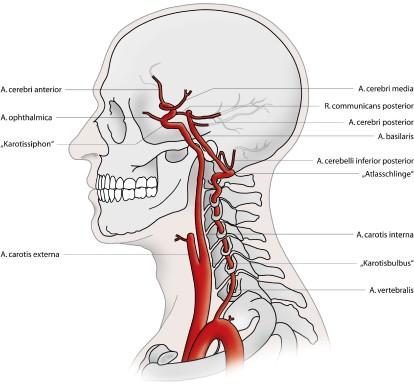 Anatomische Grundlagen   SpringerLink