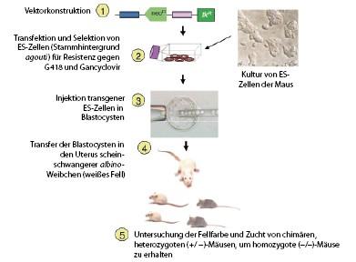Veränderungen im Genom: Mutationen   SpringerLink