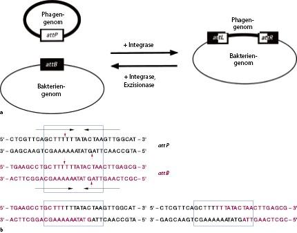 Molekulare Struktur und Regulation prokaryotischer Gene | SpringerLink