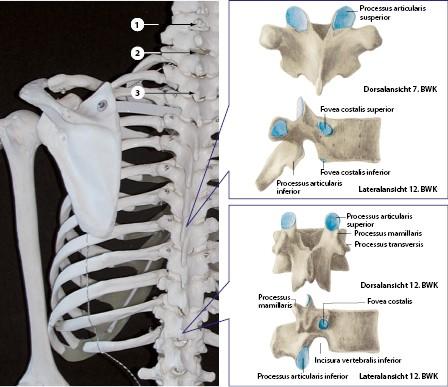Manuelle Therapie und Rehabilitation der Brustwirbelsäule | SpringerLink