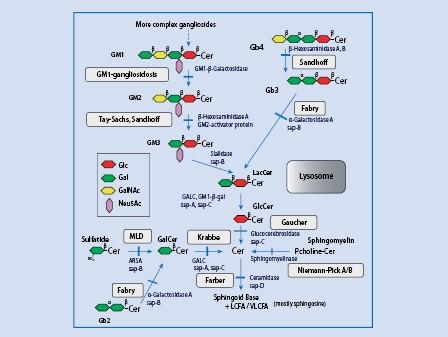Disorders of Sphingolipid Synthesis, Sphingolipidoses, Niemann-Pick Disease  Type C and Neuronal Ceroid Lipofuscinoses | SpringerLink