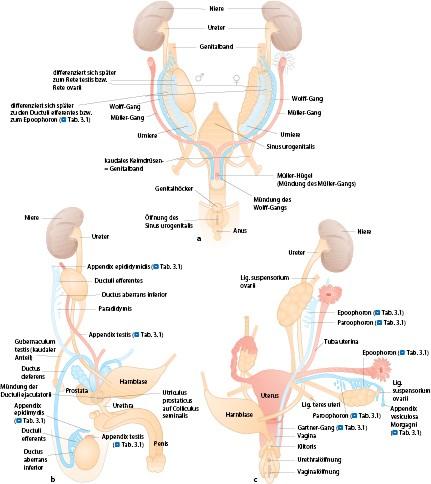 Anatomie der weiblichen Geschlechtsorgane | SpringerLink