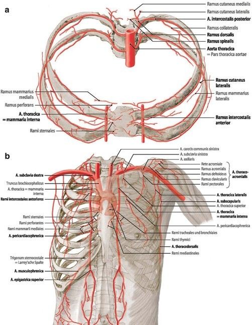 Surgical Anatomy Of The Chest Wall Springerlink