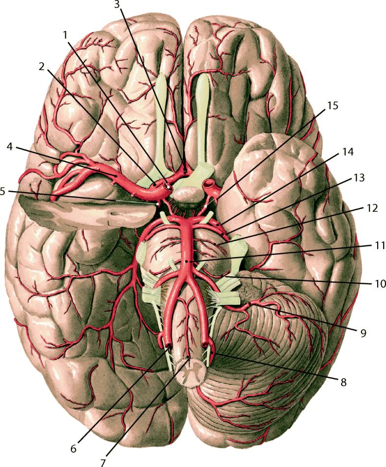 Zentralnervensystem – Anatomie und klinische Syndrome   SpringerLink