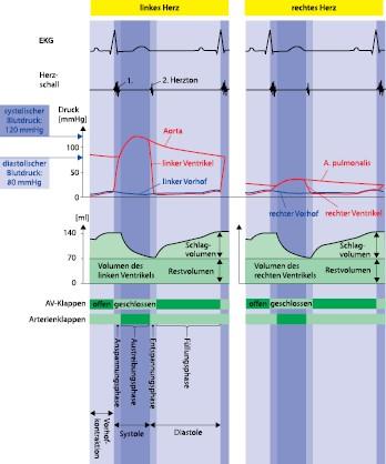 Anatomie und Physiologie von Herz und Lunge | SpringerLink