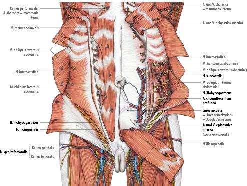 Anatomie der für das akute Abdomen relevanten abdominellen Organe ...