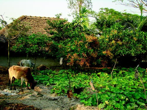 Homestead Agroforestry A Potential Resource In Bangladesh