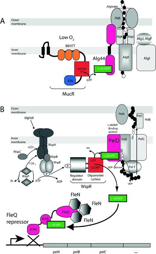 Second Messenger c-di-GMP Signaling in Pseudomonas