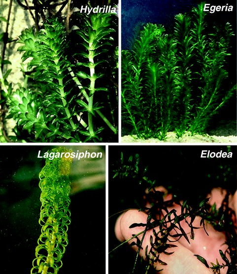 Chapter 5 Single Cell C4 Photosynthesis In Aquatic Plants