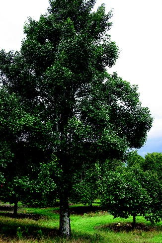 Garcinia gummi-gutta | SpringerLink