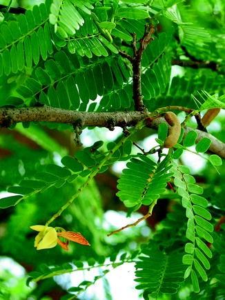 Tamarindus indica | SpringerLink