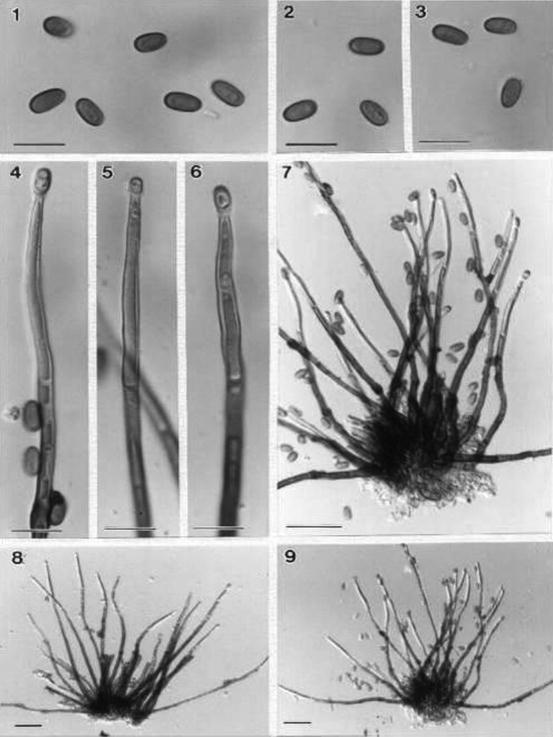 Anamorphic fungi associated with pandanaceae springerlink open image in new window fandeluxe Choice Image