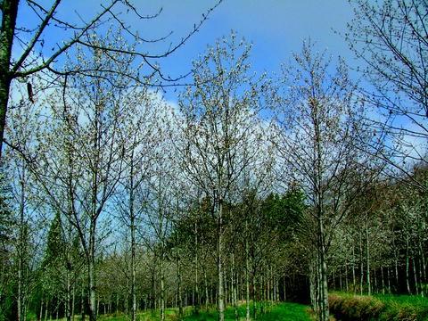 Prunus avium-Wild Cherry Tree 25 graines