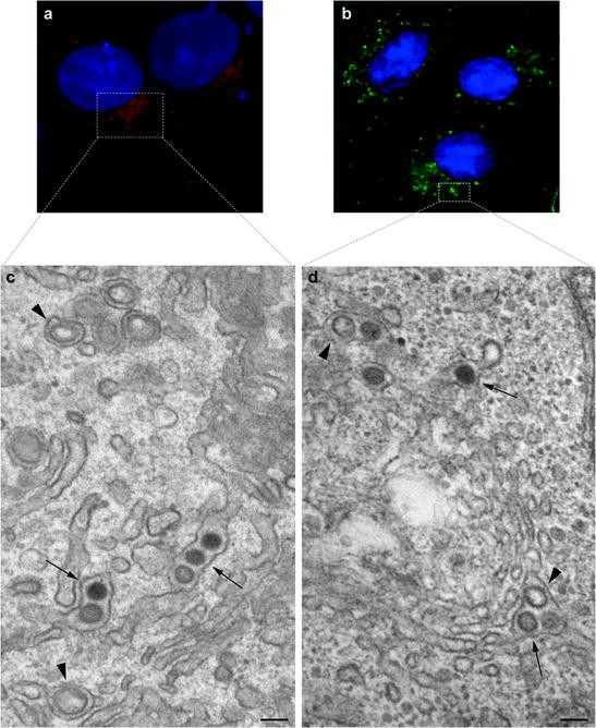 Virus Morphogenesis in the Cell: Methods and Observations