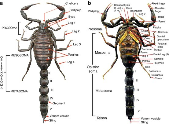Introduction to Scorpion Biology and Ecology | SpringerLink