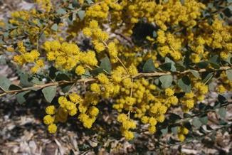 Acacia Cultriformis Springerlink