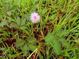 anthelmintic activity of mimosa pudica