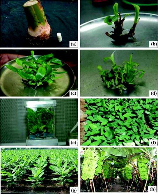 LX/_ 30X VIRGINIA TOBACCO LEAF HEIRLOOM SEEDS FRESH PLANT EASY TO GROW