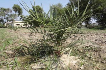 Date Palm Status and Perspective in Pakistan | SpringerLink