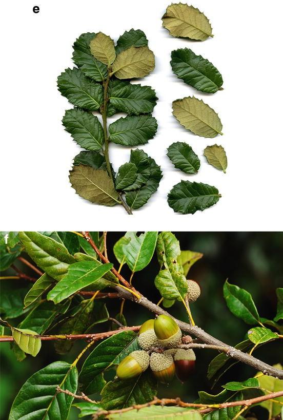 20 seeds Lithocarpus lindleyanus rare forest seed