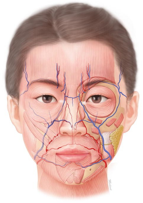 General Anatomy Of The Face And Neck Springerlink