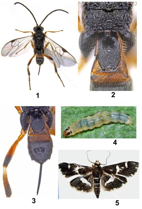 Vietnam Noctuidae sp2