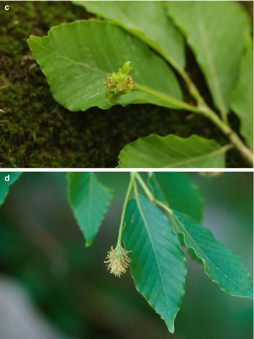 Description And Clinical Exposure Of Allergic Plants Springerlink