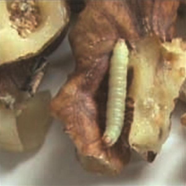 Pests Of Walnut Springerlink